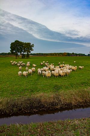 Schapen Drenthe